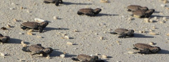 90 turtle hatchlings show up in Boracay