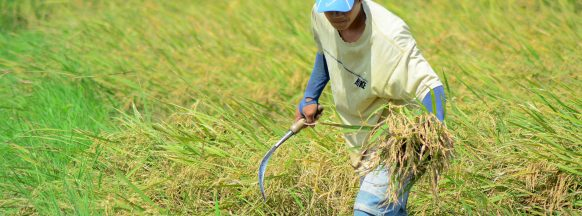 W. Visayas' palay production  grows by 12.15% in H1