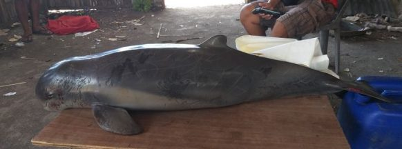 Dead dolphin recovered in Pulupandan