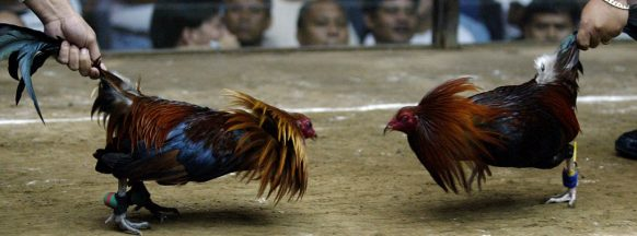 IPPO to strictly monitor cockfighting activities